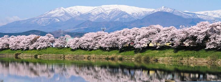 蔵王連峰を背景に白石川堤に咲き乱れる風景